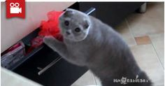 Cat Gets Caught Stealing From A Drawer <3  Watch here: http://meowaum.com/953-cat-gets-caught-stealing-from-a-drawer/