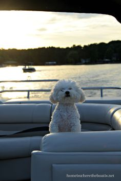 Boating with Dogs #BichonFrise #LakeNorman