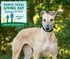 Please give for the  hounds today, North Texas Giving Day! The link works from everywhere in the world and you can help GALT win significant prizes.   http://www.northtexasgivingday.org/#npo/greyhound-adoption-league-of-texas-inc #NTXGivingDay