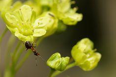 """Vaahtera kukkii ©tuuri: """"Huomasin että vaahtera alkaa kukkia ja ajattelin ottaa kuvia mahdollisista pörriäisistä mutta niitä ei juuri lennellyt. Sitten huomasin että kukilla liikkuu jotain pieniä otuksia. Ne olivat muurahaisia. Niinpä otin muutaman kuvan heidän touhuistaan."""""""