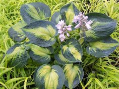 Medium Hosta Cultivar Sport of Bright Lights that differs by having thicker leaves and a wider blue-green margin.  Hosta Heat Wave has heart-shaped chartr