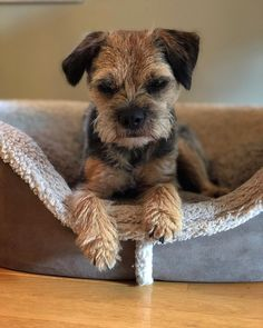 Cute Puppies, Dogs And Puppies, Doggies, Terrier Dog Breeds, Terriers, Border Terrier Puppy, Portuguese Water Dog, Brown Dog, Dog Life