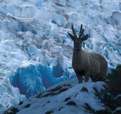 El huemul, en los Glaciares Patagónicos en la Región de Magallanes