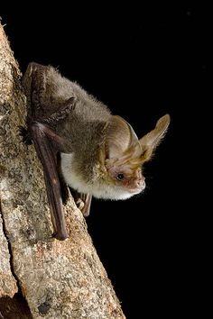 Lesser Long-eard Bat, Nyctophilus geoffroyi, Australia by AusBatPerson, via Flickr