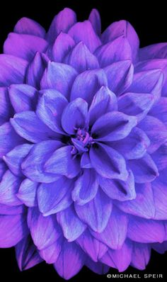 Blue Dahlia with lavender tints! This is exactly what I want for the wedding!!
