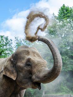 https://flic.kr/p/nNpiRY | Elefant // Hagenbeck