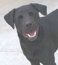 #UTAH #URGENT ~ ID  11288 is a Neutered Black Labrador Retriever in need of a loving #adopter / #rescue at Sevier County Animal Shelter  2555 N  Interchange Rd  #Sigurd UT 84657 seviercountypetadoptions@yahoo.com Ph 435-896-5370