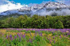 Lupinien und Berge an der Milford-Road, Fiordland, Neuseeland