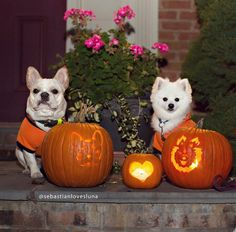 Pumpkin carved, French Bulldog and Pomeranian are Besties.