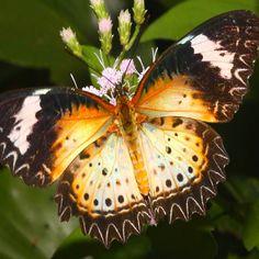 Mariposa Sudamerica
