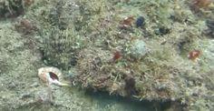 un incroyable camouflage de pieuvre video  2Tout2Rien