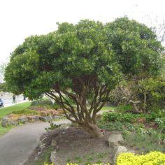 Billedresultat for tree multi stemmed