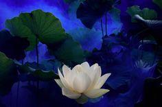 White Lotus Plant | White Lotus Flower ( © Bahman Farzad)