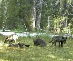 First wolfpack in decades  discovered in California. The Shasta pack named after nearby Mount Shasta ! August 2015