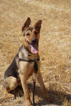 Adopta a Toby ( Pastor Alemán ) - #adopta #perros