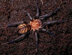 La araña tigre, Linothele fallax No hemos encontrado un nombre común en castellano para la especie Linothele fallax, aunque viendo su aspecto lo primero que se nos viene a la cabeza es el pelaje de un tigre.