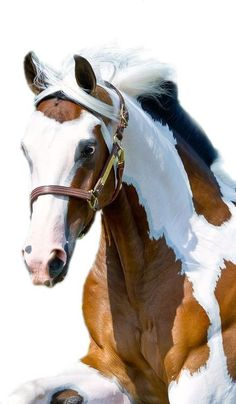 Horses are one of the animals closest to us. We have selected for you the best horses. We share with you the best horses photos in this photo gallery. Most Beautiful Animals, Beautiful Horses, Beautiful Creatures, Beautiful Beautiful, Painted Horses, Cheval Pie, Majestic Horse, All The Pretty Horses, Horse Pictures