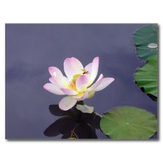 >>>The best place          Pink Lotus with Dragon Fly Postcards           Pink Lotus with Dragon Fly Postcards Yes I can say you are on right site we just collected best shopping store that haveDiscount Deals          Pink Lotus with Dragon Fly Postcards Online Secure Check out Quick and Ea...Cleck Hot Deals >>> http://www.zazzle.com/pink_lotus_with_dragon_fly_postcards-239167121334365599?rf=238627982471231924&zbar=1&tc=terrest