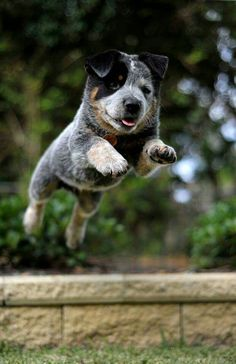 """Cute heeler puppy Hope you're doing well.From your friends at phoenix dog in home dog training""""k9katelynn"""" see more about Scottsdale dog training at k9katelynn.com! Pinterest with over 21,000 followers! Google plus with over 190,000 views! You tube with over 500 videos and 60,000 views!! LinkedIn over 9,300 associates! Proudly Serving the valley for 11 plus years! Now on instant gram!! Only a month with over 1100 followers!"""