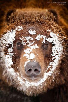 Grizzly Bear, by Volodymyr Burdyak