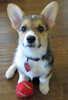 via the Daily Puppy  Corgi Love!!!  Puppy Breed: Pembroke Welsh Corgi  Buzi's name means kiss and it's easy to find her on the giving or receiving end of one. She's grown into her ears, but her corgi pants just get fluffier and fluffier. If she's not napping, she's frapping, and if she's not doing either of those, she's hunting for treats. She loves making new friends and everyone who meets her thinks she's extraordinarily cute.