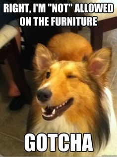 Our collie used to try to sneak onto the furniture all the time....only worked if Mom wasn't around...