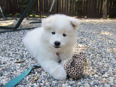 """Samoyed puppy - the breed that """"smiles""""."""