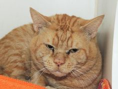 HAIL - A1087784 - - Staten Island   ***TO BE DESTROYED 09/22/16 *** A SECOND CHANCE FOR THIS ADORABLE ORANGE CHUBSTER WHO WAS FOUND IN A BOX!! Apparently someone left 3 cats in boxes….at least that's the tale told by the finder to the ACC….HAIL has been through a lot so like Switzerland, he is being neutral at the ACC….One can tell that HAIL has a lot of potential and will be Purrfect with the right Purrson!! MAKE THIS STRAY INTO A SAVE TONIGHT!! App