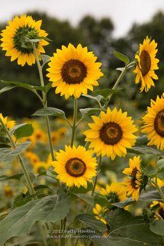 Sunflowers © 2013 Patty Hankins