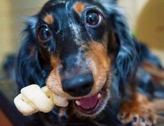 ADORABLE!!! posted by Pumpkin Chief - photo via I love Dachshunds fb page