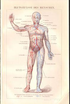 Cromolitografía del sistema circulatorio (1906)