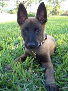 belgian malinois pup...they may be crazy insane sometimes, but with the right training, they're perfect.