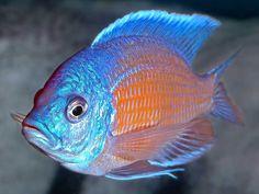 Gorgeous! Kadango (African Cichlid)