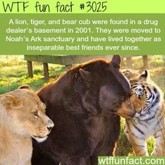 A lion, tiger, and bear, the cutest friends you will see -  WTF fun facts: