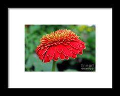 zinnia, orange, flower, bloom, blossom, nature, garden, michiale, schneider, photography