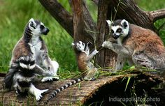 If May 22 is your birthday, you share it with ring-tailed lemur Rowan, who was born in 2011.