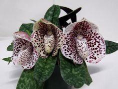 paphiopedilum bellatulum - Google Търсене