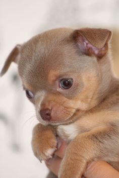 Lilac chihuahua puppy