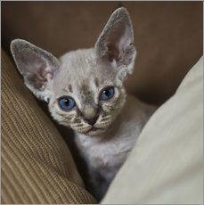 Devon Rex Kitten 3