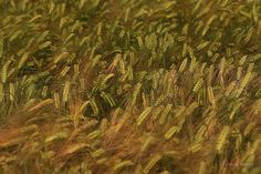 Cereal. Summer. Cereal, Vineyard, Herbs, Nature, Summer, Outdoor, Outdoors, Summer Time, Summer Recipes