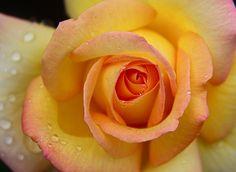 Gemini-hybrid rose