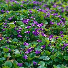 Sweet Violet Plant Flower This Small Highly Fragranced Has Deep Purple Flowers