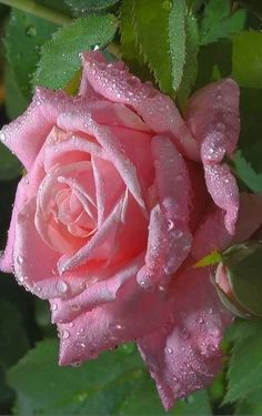 Beautiful pink rose...