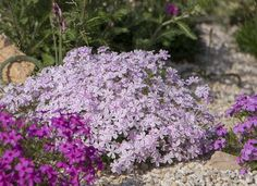 Creeping Phlox for rock garden, lilirope for back of house, meadow sage Garden Shrubs, Garden Pests, Landscaping Plants, Front Yard Landscaping, Landscaping Ideas, Inexpensive Landscaping, Flowering Shrubs, Garden Yard Ideas, Lawn And Garden