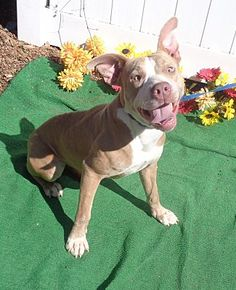 Pictures of TONI a American Pit Bull Terrier for adoption in Marietta, GA who needs a loving home.