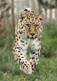 Amur Leopard by Colin Langford on Beautiful Creatures, Animals Beautiful, Animals And Pets, Cute Animals, Wild Animals, Leopard Tattoos, Gato Grande, Amur Leopard, River Island Girls