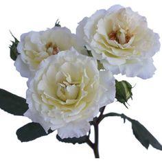 white garden spray rose