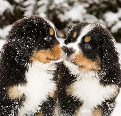 Bernese Mountain puppy kisses are so sweet Cute Puppies, Cute Dogs, Dogs And Puppies, Doggies, Puppies Stuff, Animals And Pets, Baby Animals, Cute Animals, Bernese Mountain Puppy