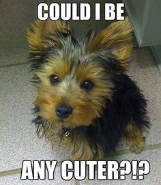 101 Best Yorkie Quotes Images On Pinterest Yorkie Yorkshire