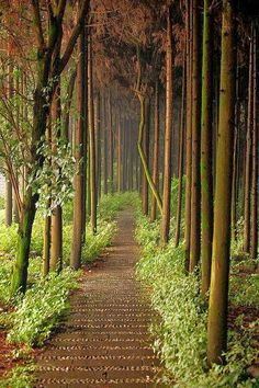 Forest Path, Chengdu, China